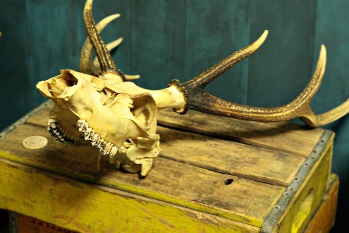 鹿の角&頭蓋骨